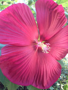 Fully bloomed hibiscus flower.